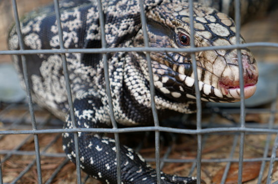 Argentine black and white tegu trapped in Toombs County (Denise Shepherd/DNR)