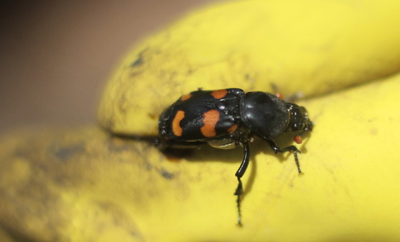 A Carolina burying beetle, more common at Alapaha (Josiah Lavender/DNR)