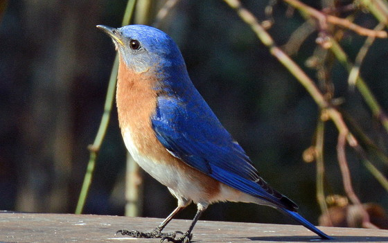 Eastern bluebirds, a beauty of mystery when it comes to migration (Terry W. Johnson)