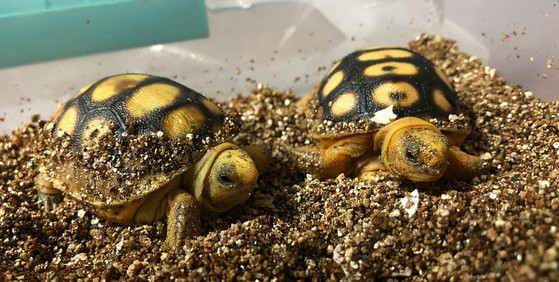 Gopher tortoise hatchlings head-started at Warm Springs (Jessica Radich/USFWS)