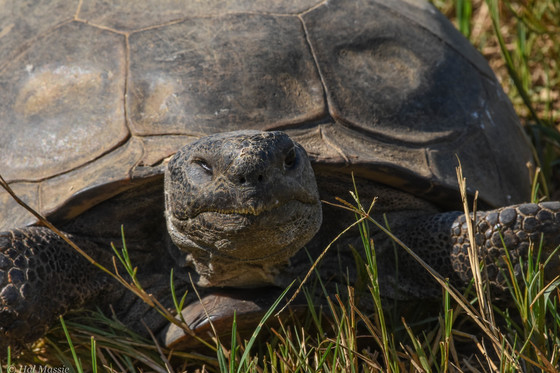 Elderly gopher tortoise at Sandhills West WMA (Hal Massie/DNR)