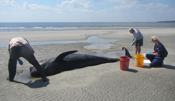 Measuring a dead pilot whale on St. Catherines