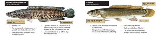 Graphic: comparing snakeheads and bowfins (Arkansas Game and Fish Commission)