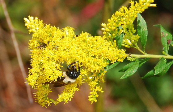 Drought saps food sources such as goldenrod, which is key for pollinators in fall. (Terry W. Johnson)