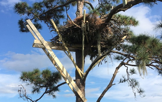 Nest under construction for Savannah bird cam (The Landings)
