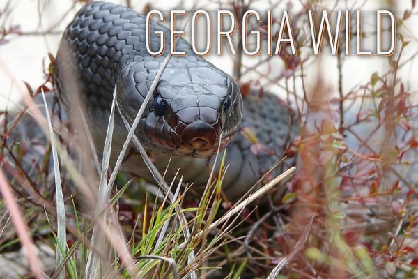 Georgia Wild masthead: eastern indigo snake (Matt Moore/DNR)
