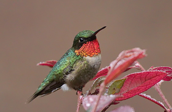 Ruby-throated hummingbird in White County (Mark Whitney/Georgia Nature Photographers Association)
