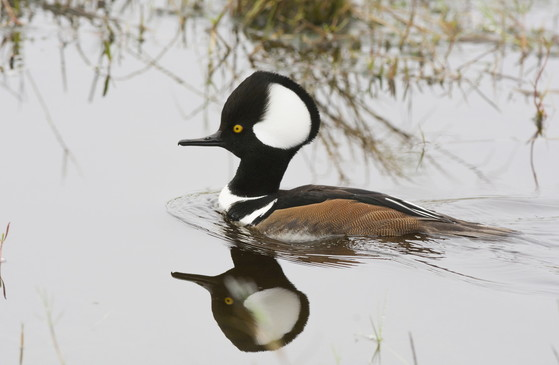Male hooded merganser (Tom Wilson/Georgia Nature Photographers Association)
