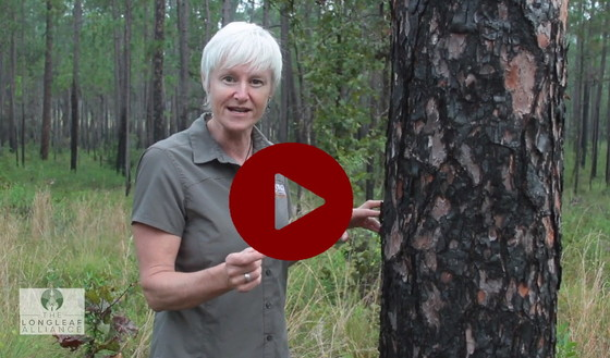 "DNR's Shan Cammack in Longleaf Alliance's ""Longleaf for the longrun"""