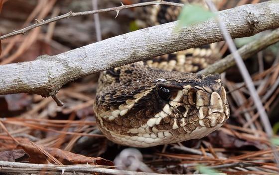Eastern diamondback rattlesnake (Matt Moore/DNR)
