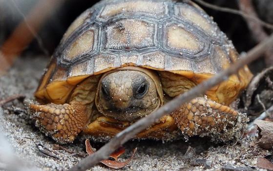Juvenile gopher tortoise (Matt Moore/DNR)