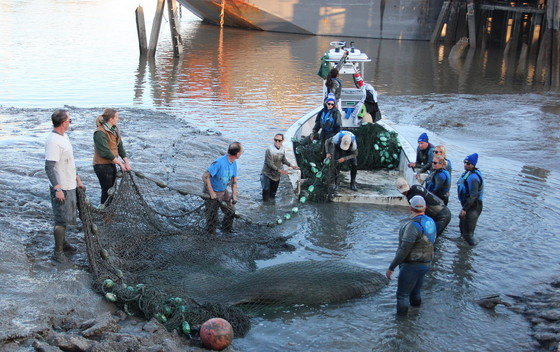 Muddy manatee rescue on the Savannah (Clearwater Marine Aquarium/USFWS permit 770191)