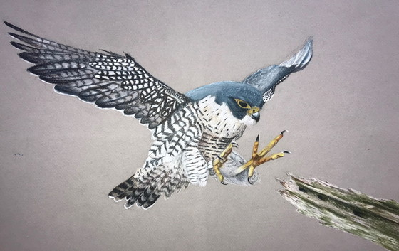 Alson Li's peregrine falcon proved the 2020 Youth Birding art grand-prize winner.