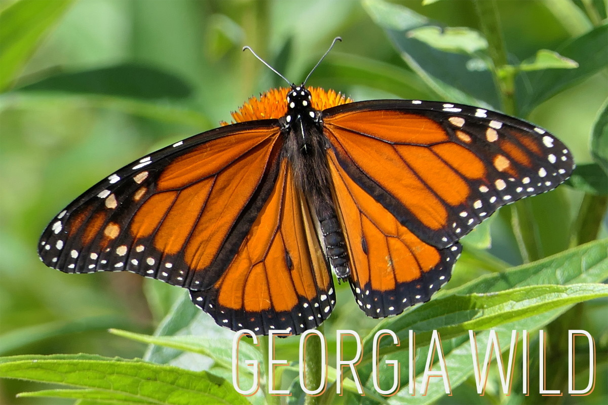 Georgia Wild masthead: monarch butterfly