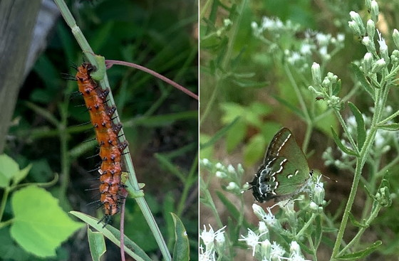 Gulf fritillary caterpillar and a juniper hairstreak (Anna Yellin/DNR)