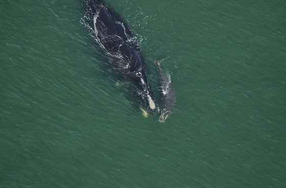 Right whale 2642 (Echo) with calf off Atlantic Beach, Fla. (FWC/NOAA permit 20556-01)