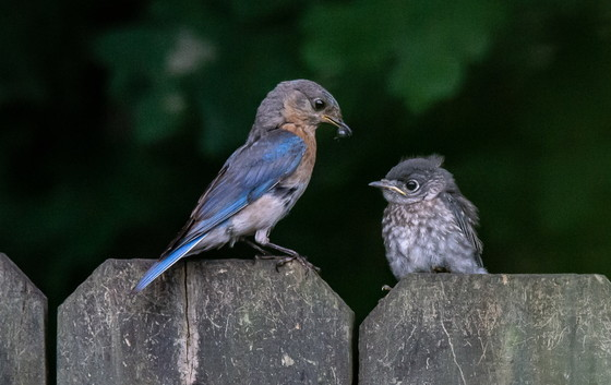 Adult bluebird with fledgling (Mary Stiles/Georgia Nature Photographers Association)