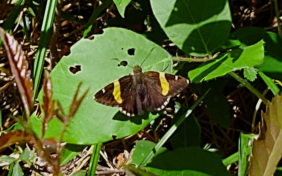 Golden-banded skipper (Phil Delestrez/DNR)