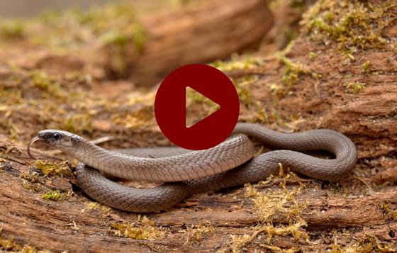Rough earth snake (Mark Krist)