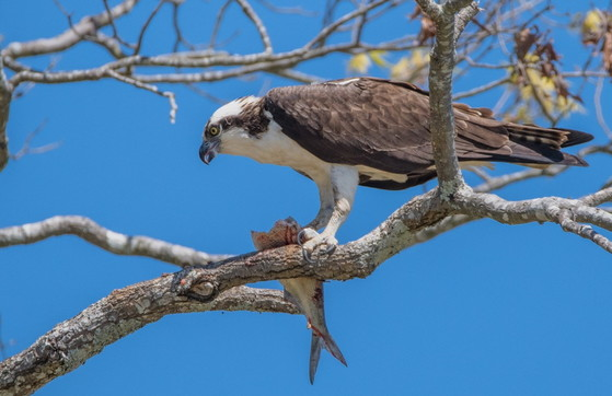 Osprey eating a fish (Ron Goldfarb)