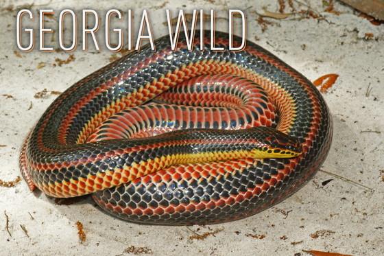 Georgia Wild masthead: rainbow snake (Kevin M. Stohlgren)