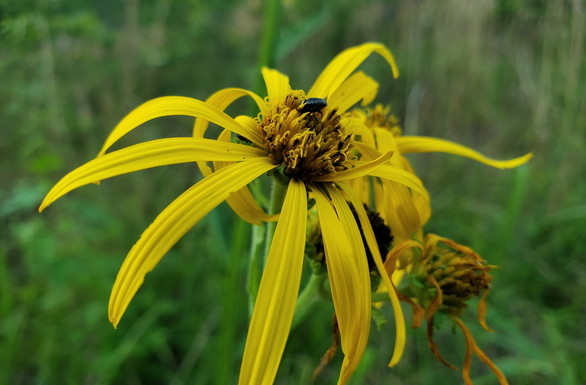 Verbesina helianthoides -- aka hairy wingstem gravelweed or yellow crownbeard (Joyce Klaus)