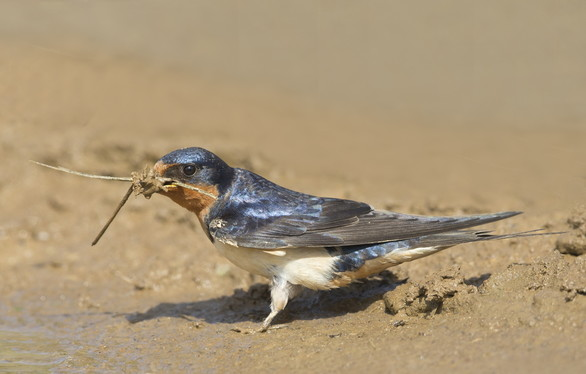 Barn swallow gathering nest material in Bibb County (Ty Ivey/Georgia Nature Photographers Association)