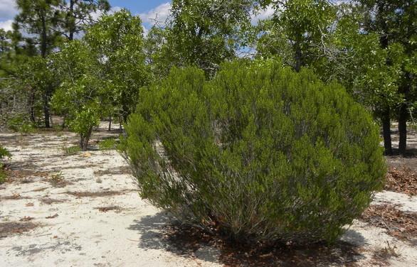 Sandhill rosemary in sandhills habitat (Linda May/DNR)