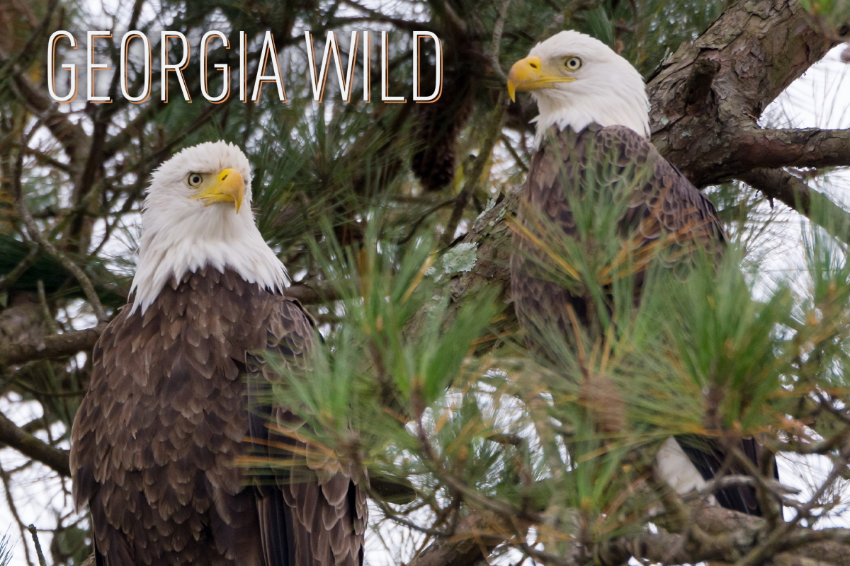 Georgia Wild masthead: bald eagle pair in Floyd County (Tom Wilson/Georgia Nature Photographers Association)