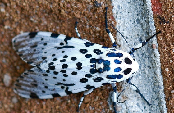 Giant leopard moth (Terry W. Johnson)