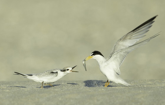 Least tern feeding chick on St. Simons (Ty Ivey/Georgia Nature Photographers Association)