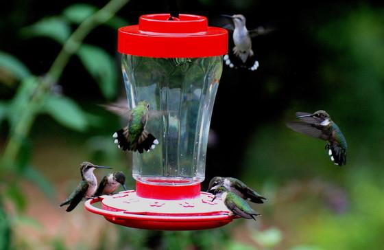 Ruby-throated hummingbirds crowd a feeder (Terry W. Johnson)