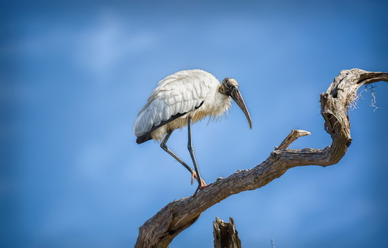 Wood stork at Stephen C. Foster State Park (Alicia Pastiran/Georgia Nature Photographers Association)
