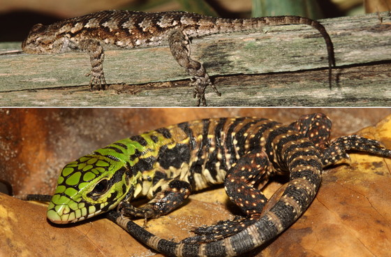 Adult eastern fence lizard (top) and a juvenile Argentine black and white tegu (fence lizard/Adobe Stock; tegu/Dustin Smith)