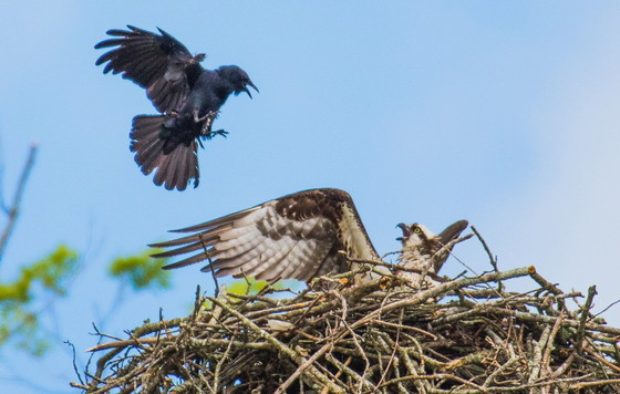 Fish crow harassing an osprey on the nest at Lake Allatoona (Ron Goldfarb)