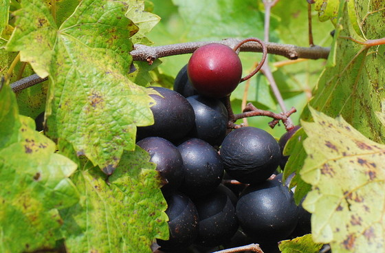 Muscadines on the vine (Terry W. Johnson)