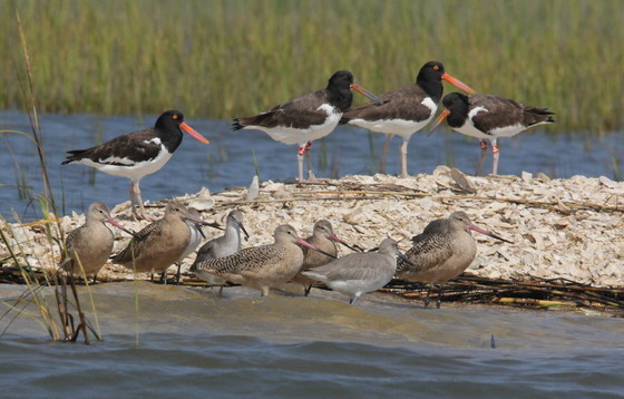 American oystercatchers and other shorebirds (Tim Keyes/DNR)