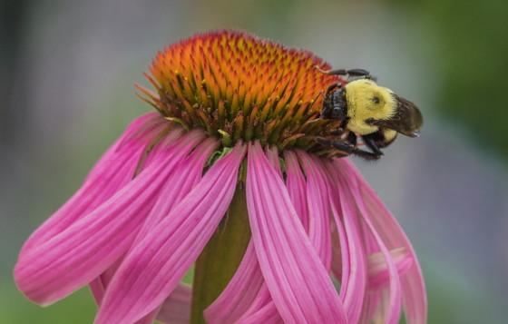 Bee on a smooth purple coneflower (Natalie Birnbaum/Georgia Nature Photographers Association)