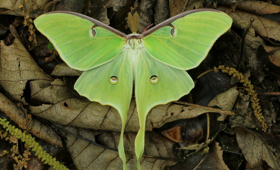 Luna moth in Chattooga County (Alan Cressler)