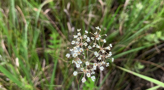 Canby's dropwort bloom (Carlee Steppe/DNR)