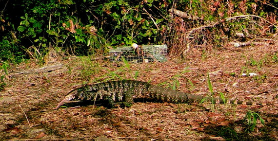 """This camera """"trap"""" photo shows a large tegu seen and caught recently in Tattnall County. (USGS)"""