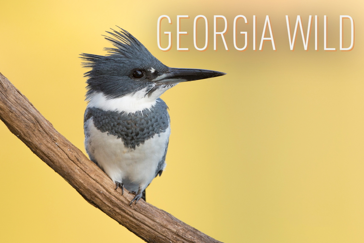 Georgia Wild masthead: belted kingisher (Ty Ivey/Georgia Nature Photographers Association)