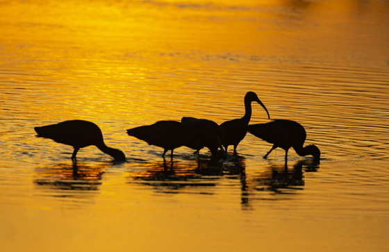 White ibis at sunset at Altamaha WMA (Ty Ivey/GNPA)