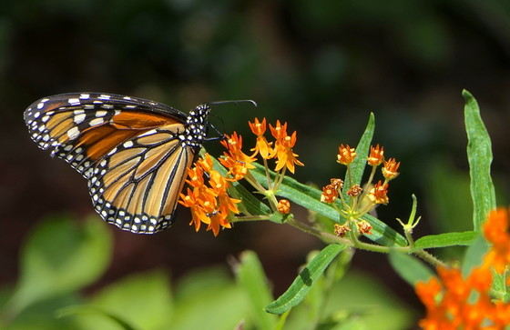 Monarch butterfly on milkweed (Linda May/DNR)