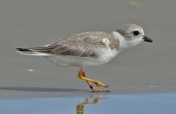 Piping plover Hazel on Cumberland Island (Doris and Pat Leary)