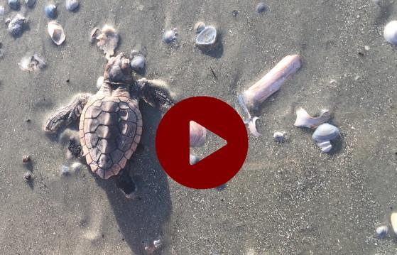 Loggerhead sea turtle hatchling (Sarah Martin/DNR)