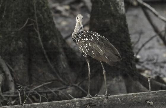 Limpkin at Chickasawhatchee WMA (James Malphrus)