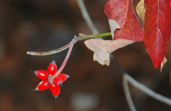 A wildlife treat: flowering dogwood berries (Terry W. Johnson)