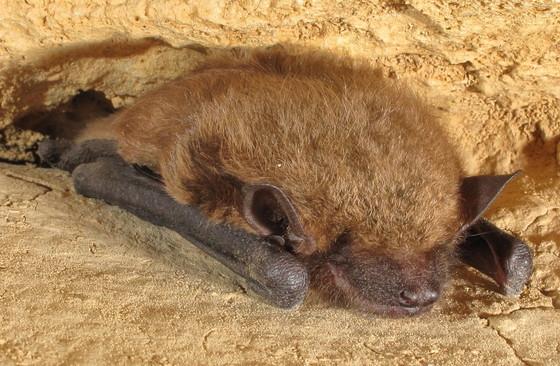 Big brown bat in a Walker County cave (Alan Cressler)