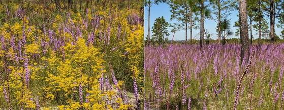 """""""Super bloom"""" at Sandhills West WMA (DNR)"""